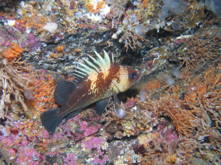 QUILLBACK ROCKFISH Discover the myriad of fish that inhabit these waters.