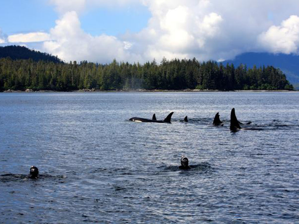 Orcas in the Tongass Narrows channel during a tour.