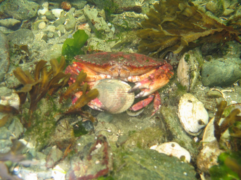 RED ROCK CRAB Also know as a Cancer Crab.